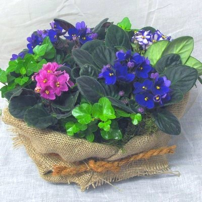 African Violet Planted