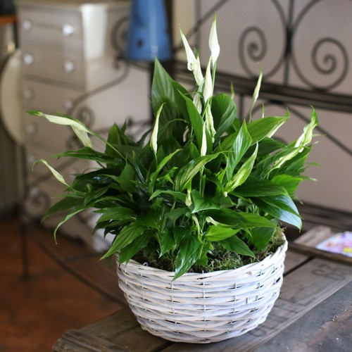 Peace Lily Planted